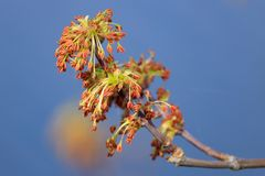 Flowering branch of maple against the blue sky Stock Images