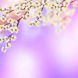 Flowering Branch Of Apricot Royalty Free Stock Photo