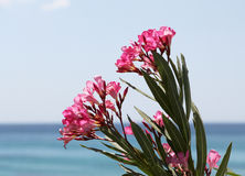 Flowering branch of oleander, at the sea Royalty Free Stock Image