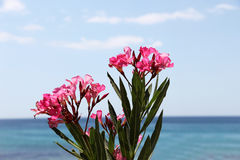Flowering branch of oleander, at the sea Royalty Free Stock Photos