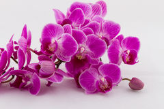 Flowering branch of Orchid phalaenopsis. On white background Royalty Free Stock Photos