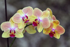 Flowering branch of Orchid phalaenopsis. Indoor decorative plants. Flowering branch of Orchid phalaenopsis on dark background Royalty Free Stock Image