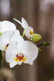 Flowering branch of Orchid phalaenopsis Royalty Free Stock Photos