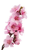 Flowering branch of peach Royalty Free Stock Photo