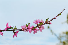 Flowering branch of a peach Royalty Free Stock Photography