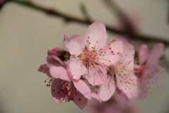 Flowering branch of peach closeup. On blurred background Stock Images