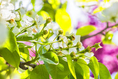 Flowering branch of pear, backlit Stock Photos