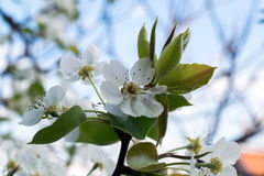 Flowering branch of pear. blooming spring garden. Flowers pear close-up. Blurred background. Pear blossom in early spring. Royalty Free Stock Photo