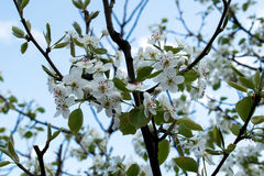 Flowering branch of pear. blooming spring garden. Flowers pear close-up. Blurred background. Pear blossom in early spring. Stock Images
