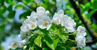 Flowering branch of pear blooming spring garden. Flowers pears c Royalty Free Stock Photography