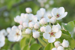 Flowering branch of white flowers pear closeup abstract background royalty free stock images