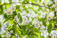 Flowering branch of pear in the garden Royalty Free Stock Images