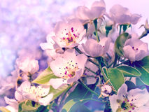 Flowering branch of pear Stock Image