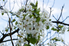 Flowering branch of pear.Pear blossom in early spring royalty free stock photography