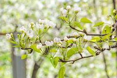 Flowering branch of pear tree on blurred background orchard Stock Images