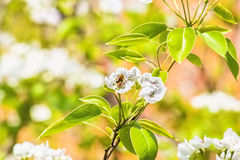 Flowering branch of pear tree on blurred background spring garde Stock Images