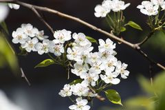 Flowering branch of a pear tree. Pyrus Stock Photo