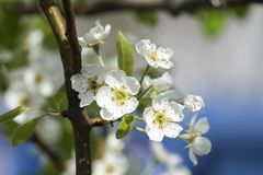 Flowering branch of a pear tree. Pyrus Royalty Free Stock Photography