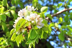 Flowering branch of pear tree Royalty Free Stock Photos