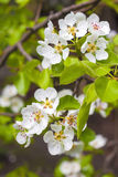 Flowering branch of pear tree Stock Photo