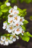 Flowering branch of pear tree Royalty Free Stock Images