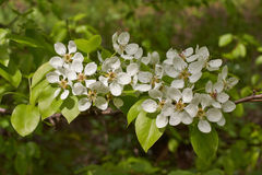 Flowering branch of pear tree in the spring. Flowering branch of pear tree in the spring garden Royalty Free Stock Photos