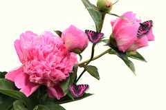 Flowering branch of peonies with a pink butterfly Royalty Free Stock Photography