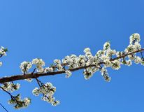 Photo White flowers. Spring tree. New life. Blue sky, sun. Wallpaper floral background. Rays of light. Sunlight, effect, sunray. Flowering branch photo. Blue sky royalty free stock images