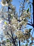 Flowering branch photo. Blue sky, sun. New life. Wallpaper flowers background. Rays of light. Sunlight, effect, sunray. Photo White flowers. Spring tree. New stock photos
