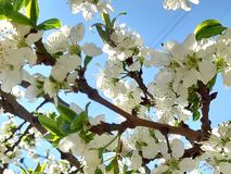 Flowering branch photo. Rays of light. Sunlight, effect, sunray. Spring royalty free stock images