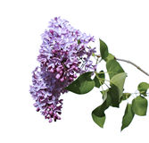 Flowering branch of pink lilac isolated Royalty Free Stock Photos