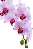 Flowering branch of pink orchids. Stock Photo