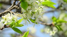 Flowering branch of plum closeup, white flowers of plum shakes wind in the Park stock video