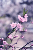 Flowering branch of plum with leaf Stock Photos