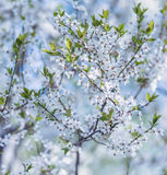 Flowering branch of plum tree Royalty Free Stock Photography