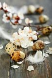 Flowering branch and quail egg. Royalty Free Stock Photo