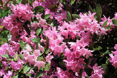 Flowering branch of rhododendron in the spring garden. Pink azalea flower. Royalty Free Stock Photo