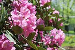 Flowering branch of rhododendron in the spring garden. Pink azalea flower. Royalty Free Stock Images