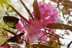 Flowering branch of rhododendron in the spring garden. Pink azalea flower. Stock Images