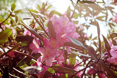 Flowering branch of rhododendron in the spring garden. Pink azalea flower. Royalty Free Stock Photos