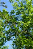 Flowering branch of Robinia pseudoacacia against the sky. Flowering branch of Robinia pseudoacacia against blue sky Royalty Free Stock Photo