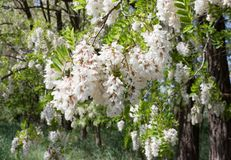 Flowering branch robinia pseudoacacia. Robinia is a genus of flowering plants in the family Fabaceae, subfamily Faboideae, native to North America and northern Stock Image