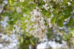 Flowering branch robinia pseudoacacia. Robinia is a genus of flowering plants in the family Fabaceae, subfamily Faboideae, native to North America and northern Royalty Free Stock Photos