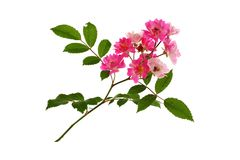 Flowering branch of roses. Royalty Free Stock Photography