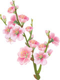 Flowering branch of sakura Royalty Free Stock Photos