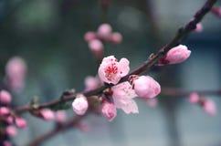 Flowering branch of sakura Stock Image