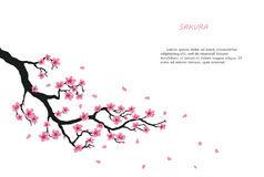 Flowering branch of sakura on a white background Royalty Free Stock Images