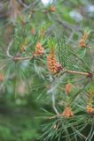 Flowering branch of Scots pine. With long needles and pronounced anthers royalty free stock images