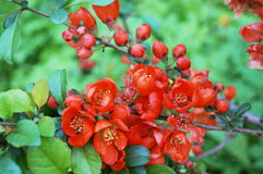 Flowering branch with small red flowers Stock Photo