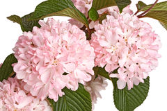 Flowering branch of snowball viburnum (Viburnum plicatum) isolat Stock Image